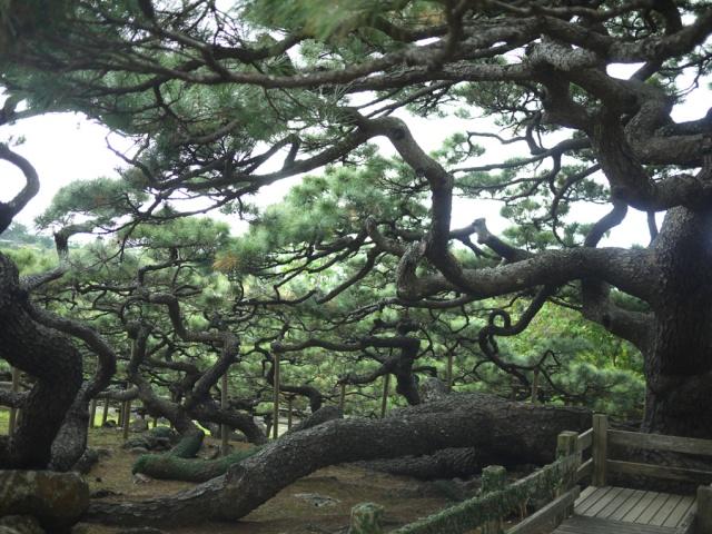 これ一本の松「五枝の松」