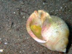 ミジンベニハゼINウラシマ貝