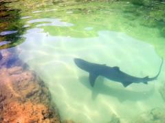 ネムリブカ@南島サメ池