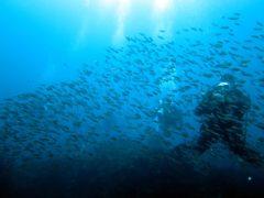 イサキの稚魚のシャワー@大島秋の浜ダイビング