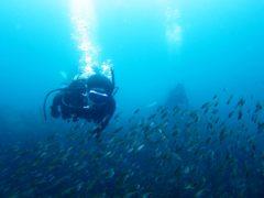 イサキの稚魚の群れ@大島秋の浜ダイビング