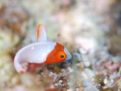 イロブダイの幼魚@屋久島ダイビングツアー