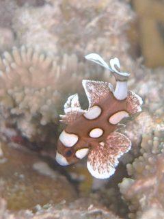 チョウチョウコショウダイ幼魚@マクタン島ダイビング