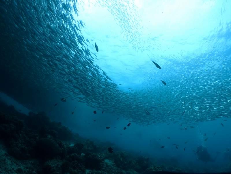 イワシ玉@セブマクタン島ダイビング
