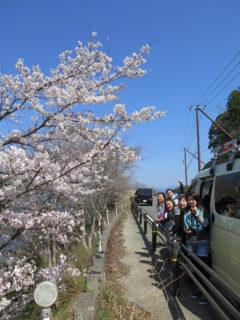 一部桜満開