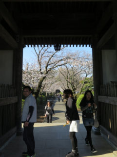 お寺の桜はまだ3分咲き