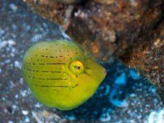 アオサハギ幼魚#大瀬崎ダイビングツアー