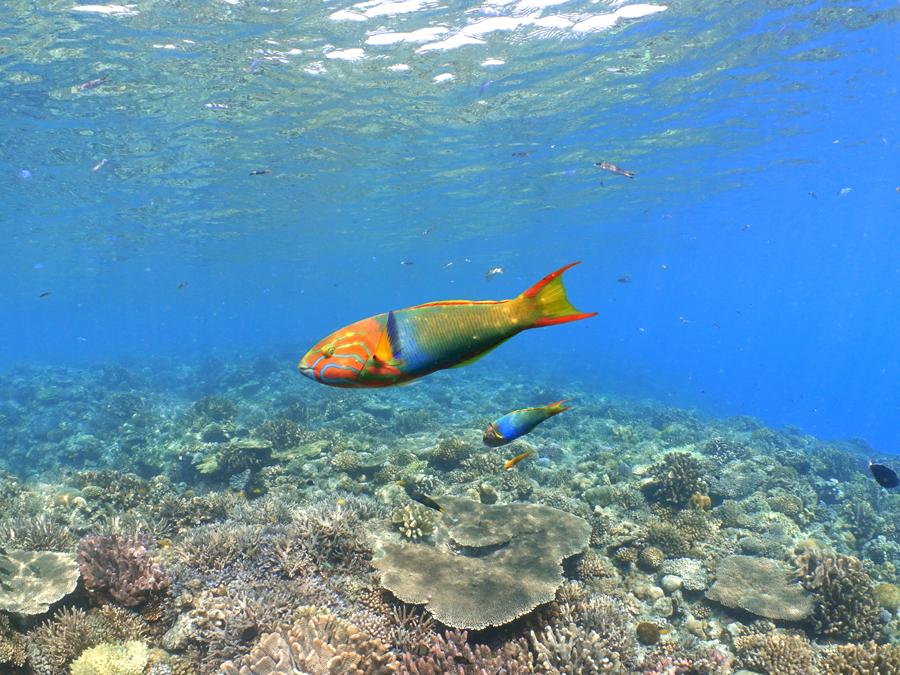 サンゴ礁にヤマブキベラ