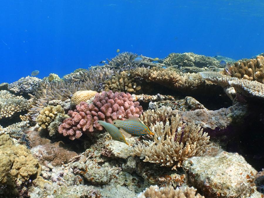 サンゴの合間を行くテングカワハギのカップル