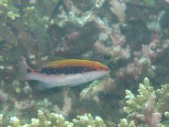 バラハタ幼魚#田子ダイビング