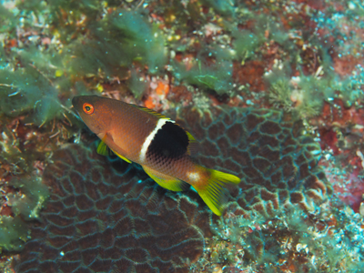 タキベラ幼魚