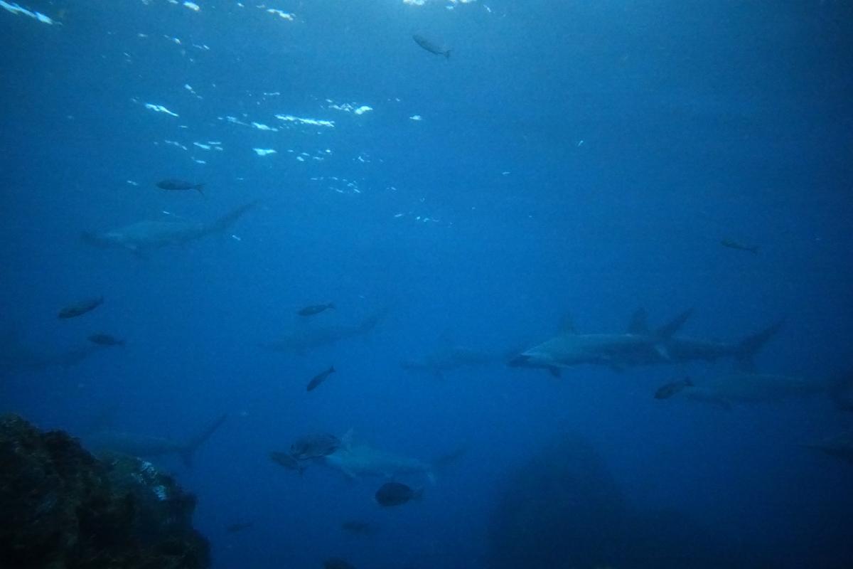 水深7mに30匹のハンマーっ byれな