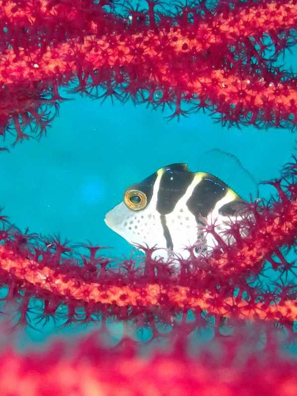 ノコギリハギ幼魚@安良里ビーチダイビング