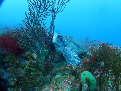 もたれかかるウミガメ
