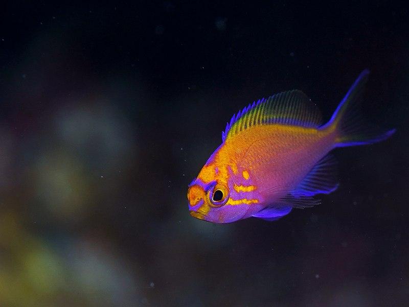 ハナゴンベ幼魚@須江ダイビングセンター