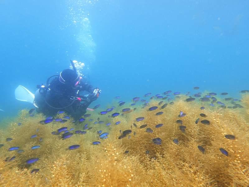 春の伊豆の水中風景と海藻