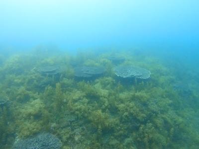 テーブルサンゴと海藻