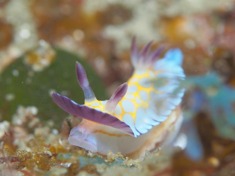 ボブサンウミウシ#海中写真#ファインダー越しの世界