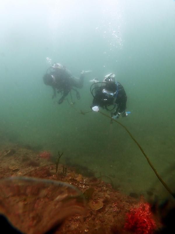 ナガミル@日本の海藻