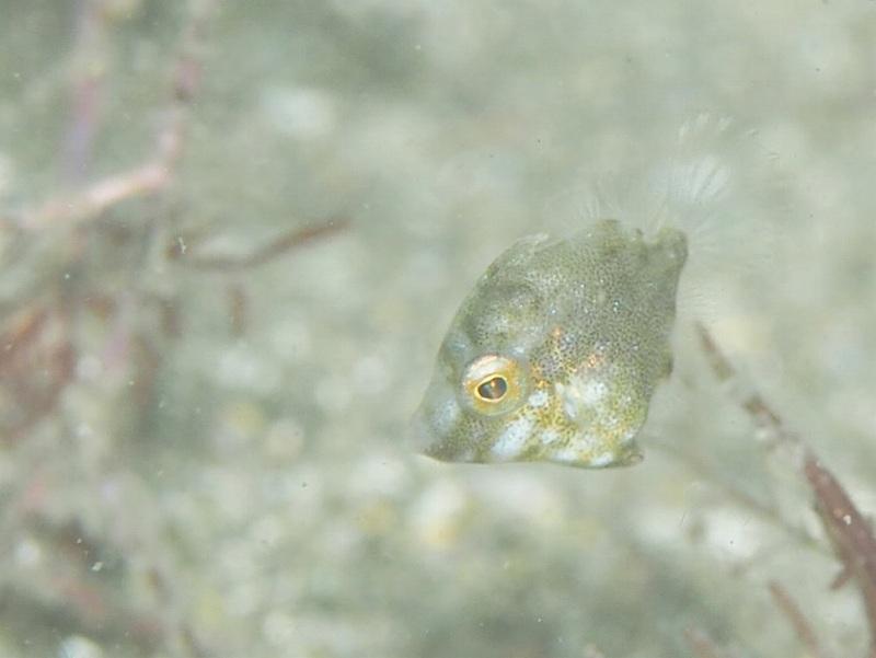 アミメハギ幼魚@安良里ダイビングツアー